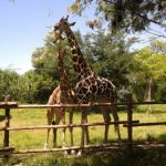 Giraffes in Bali Safari and Marine Park