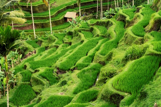 Tegalalang Rice Terrace in summer