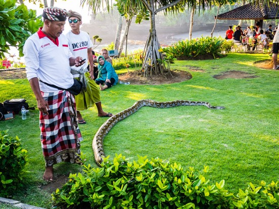 Sacred snake the keeper of Tanah Lot